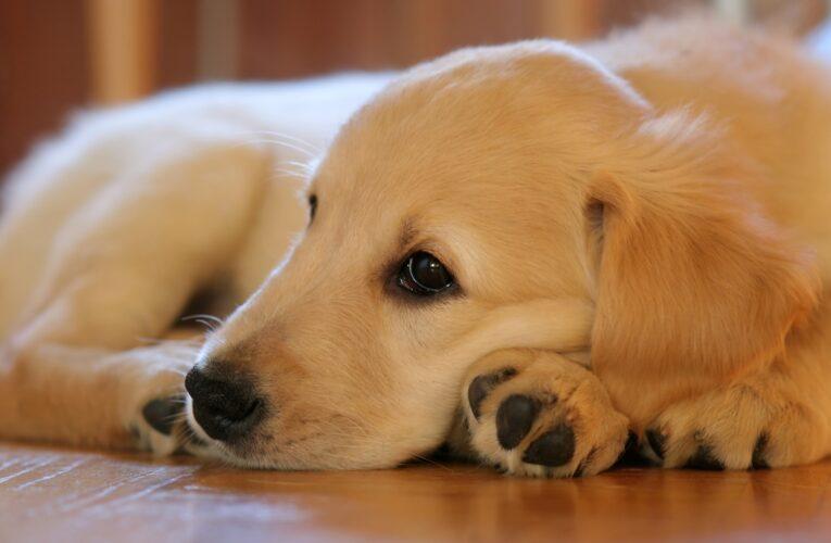 Atenção: seu cão pode estar com leishmaniose e você não percebeu