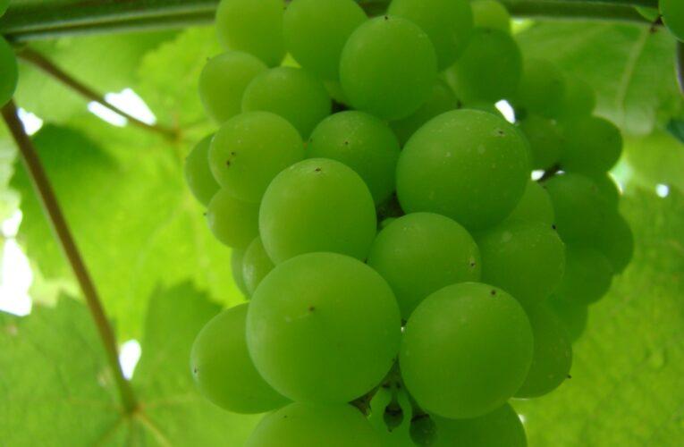 Geada: aminoácidos auxiliam hortifrútis a superarem que