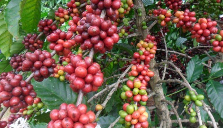 Exportação de café na safra cai 8% em volume e cresce 4