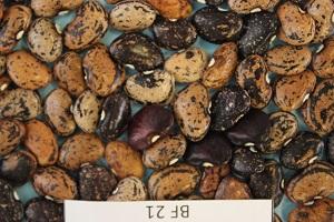 Brasil investe no melhoramento genético do feijão fava