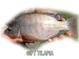 Melhoramento genético em peixes e em seus Parâmetros.