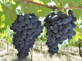 Agricultura pernambucana é eficiente na produção de uva