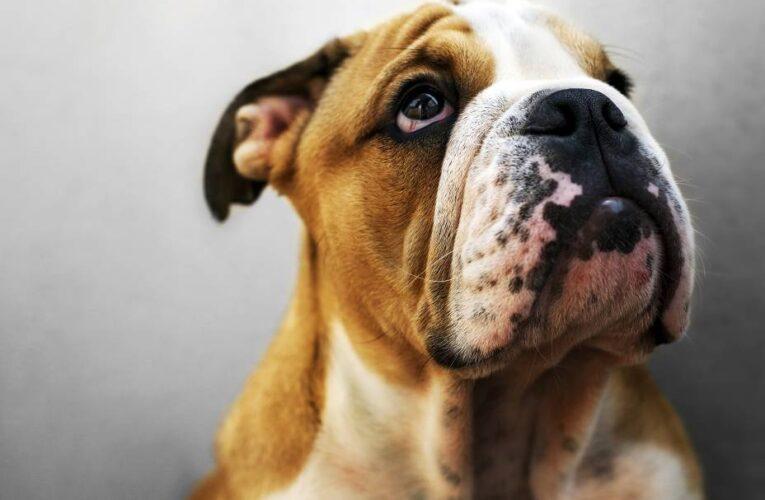 Estudo sugere que cães conseguem entender palavras