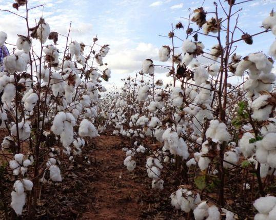 Preço do farelo de algodão subiu no mercado