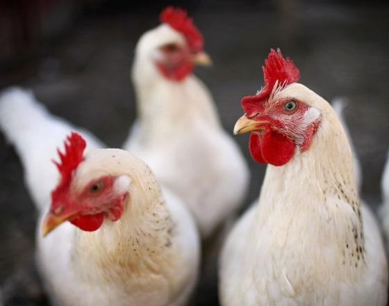 Recuperação nos preços do frango vivo
