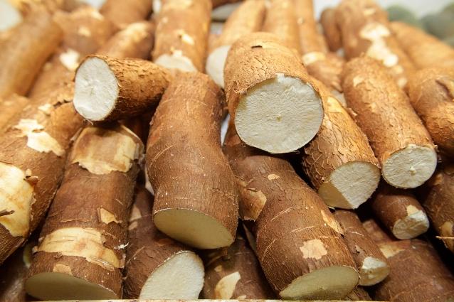 Embrapa lança variedade de mandioca para a indústria