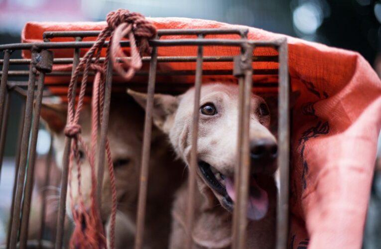 Cidade chinesa começa festival de carne de cachorro