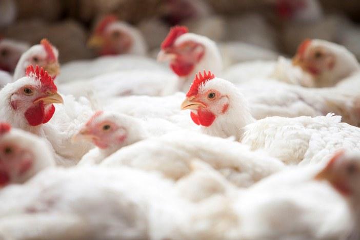 Custos de produção de suínos e de frangos de corte