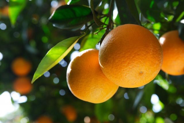 Citros: Frio deve beneficiar florescimento dos pomares