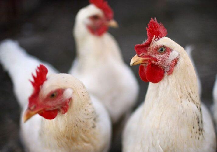 Prosseguem as altas de preço do frango vivo