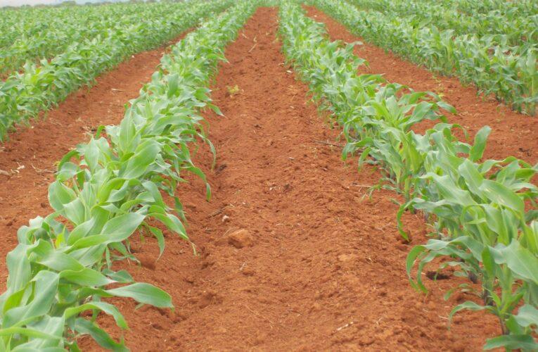 Cuidados no tratamento aumentam a germinação do milho