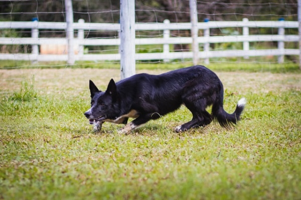 Cão mais caro do mundo é vendido por R$ 160 mil