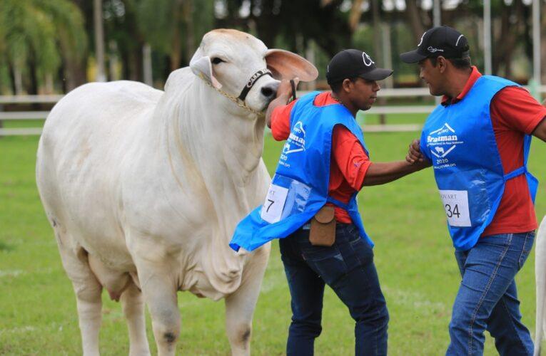 CABR Riva 2731, Campeã Mundial Fêmea da Raça Brahman