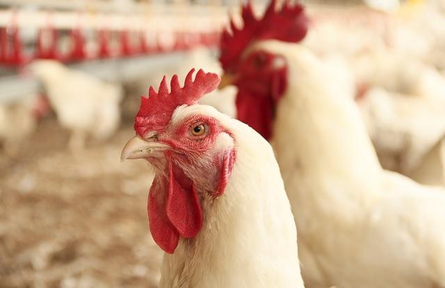 Cevac Maximune Pro: eficiência na proteção de aves