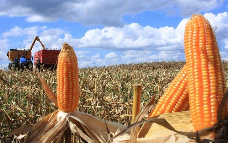 Destinação da produção de milho do Brasil