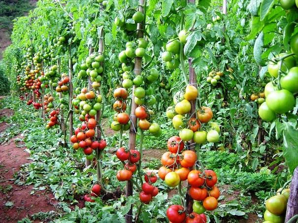 Chuvas afetam a produção de tomate em São Paulo