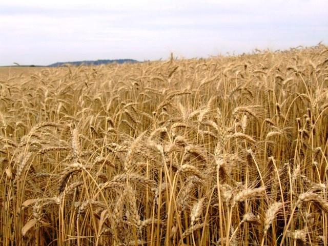 Coreia do Sul rejeita carga de trigo da Argentina