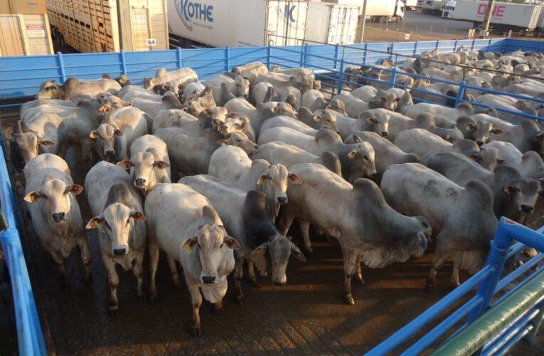 Circuito Nelore deve avaliar 900 animais em GO