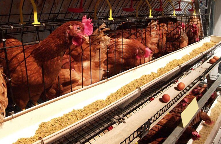 Nutrição e cuidados evitam enfermidades na avicultura