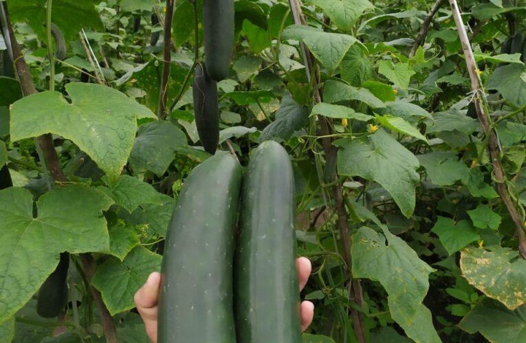Produtores aprovam variedades de pepinos da Superseed