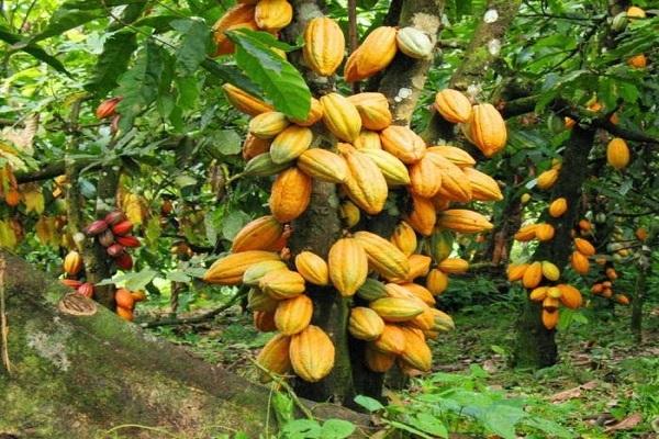 Produção nacional de cacau pode crescer 60 mil t