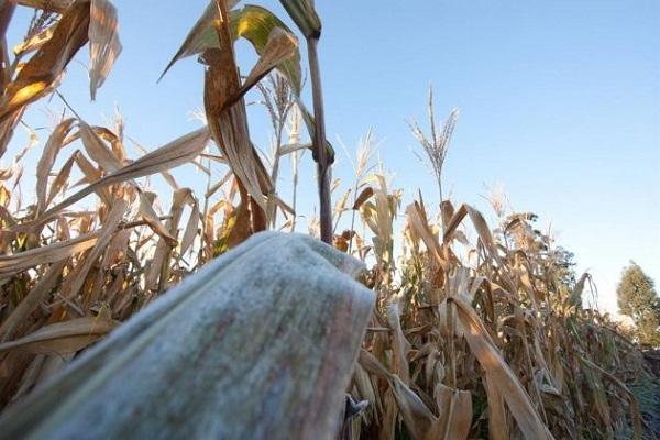 Risco de geada durante colheita do milho safrinha