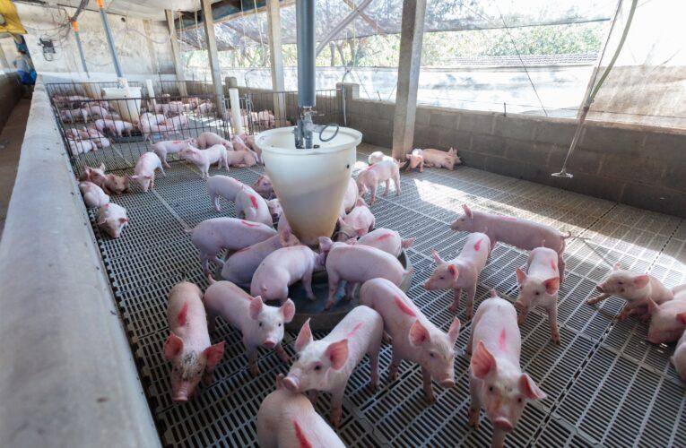 ICC firma parceria com granja comercial de suínos