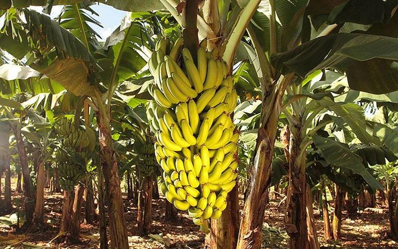 Alerta para doenças que vem atingindo plantações de bananas