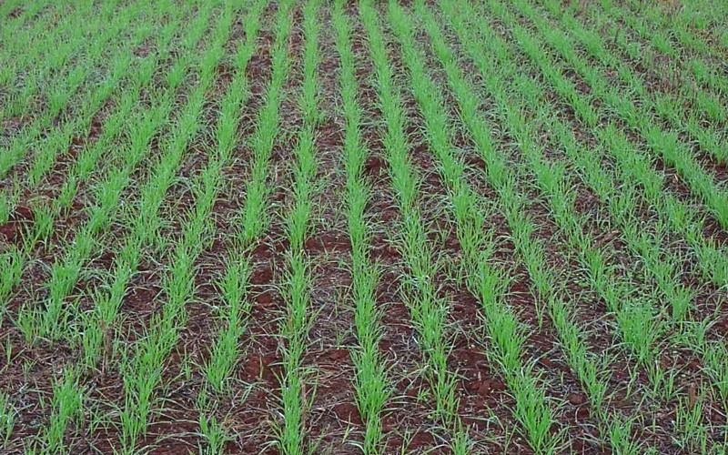 Pragas iniciais das lavouras de trigo