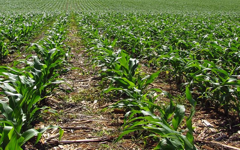 Inoculação em lavoura de milho