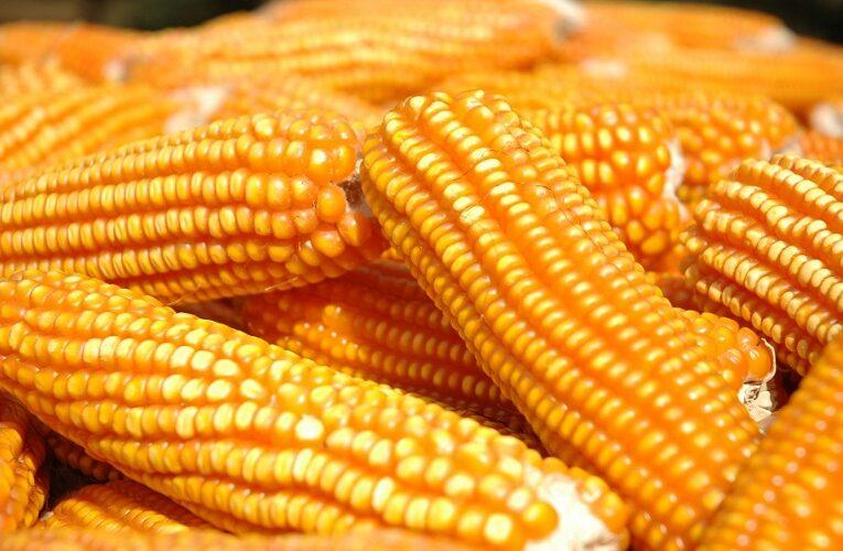Cotações do milho seguem batendo recordes