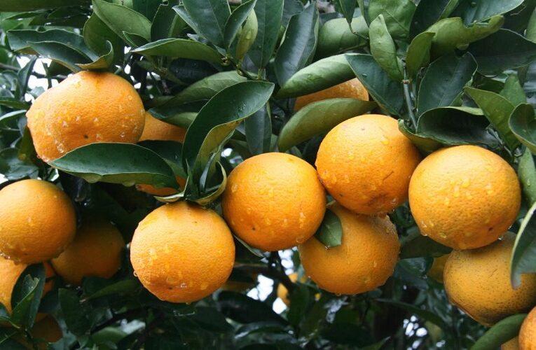 Riscos climáticos para cultura de citros