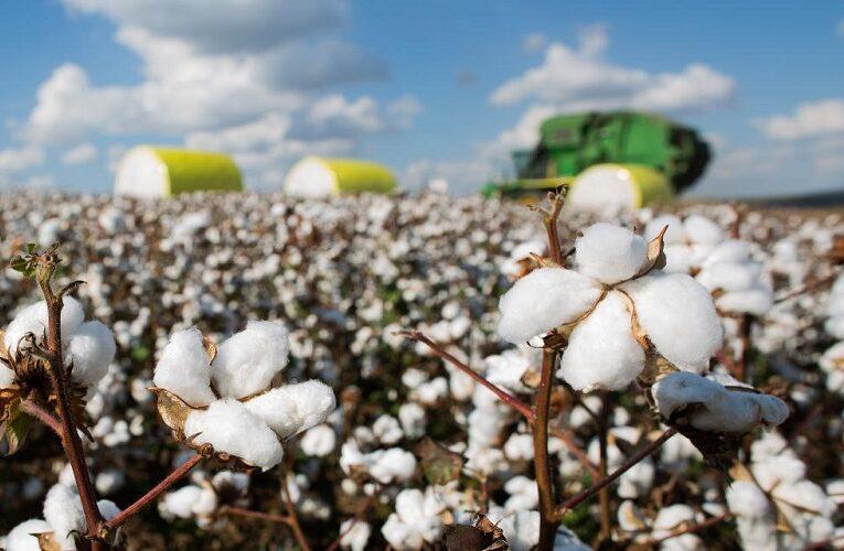 Novo algodoeiro resistente às principais doenças da cultura