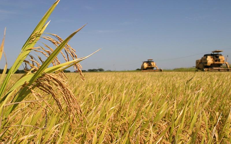 Preço do arroz segue firme neste fim de temporada