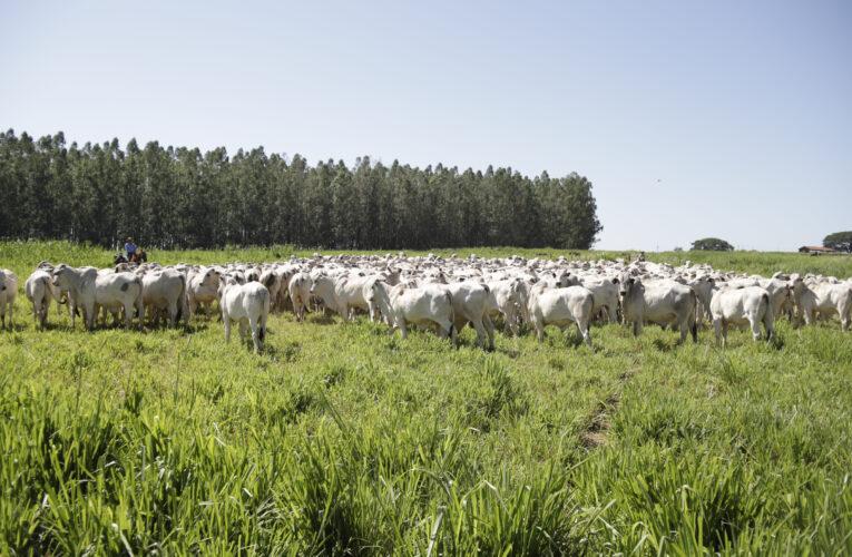 CFM intensifica uso de touros jovens na seleção