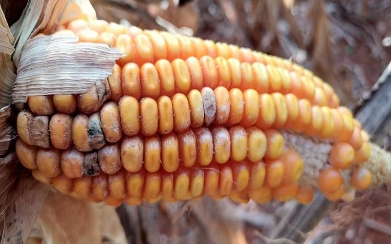 Técnica com infravermelho para identificar fungos em milho