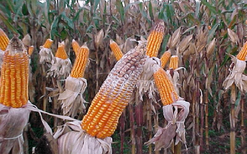 Produção de grãos ardidos nas lavoura de milho