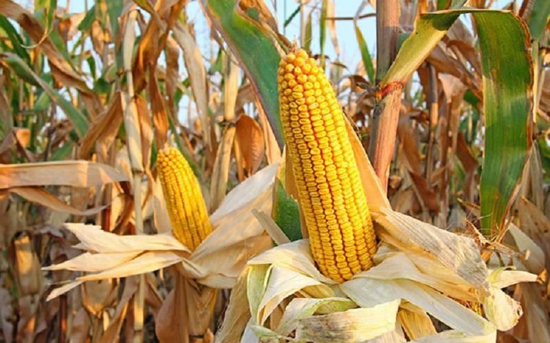 SC terá que importar 5 milhões de toneladas de milho