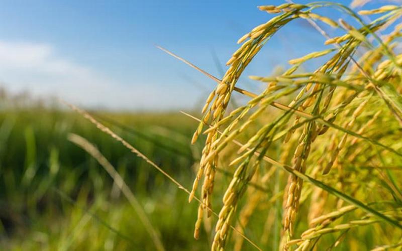Antecipação da preparação da próxima safra de arroz