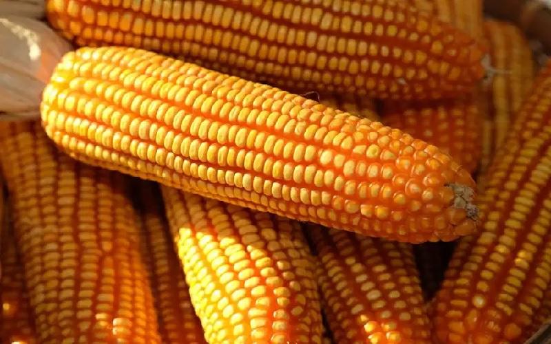 Preços elevados impactam competitividade do milho brasileiro