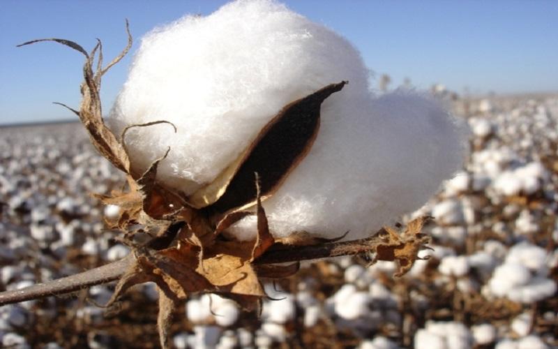 Desafios da produção brasileira de algodão