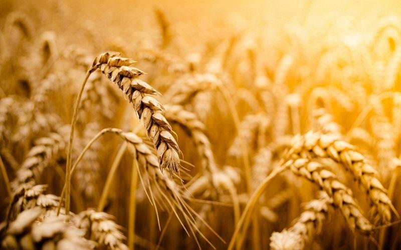 Preços do trigo dispara em Chicago