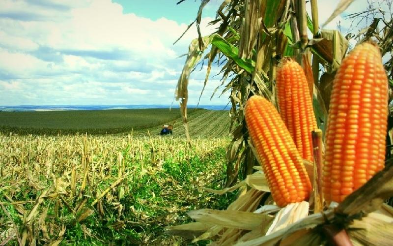 Mantendo a produtividade do milho safrinha