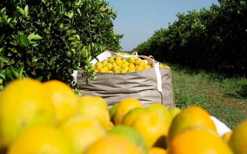 Safra 2021 2022 de laranja deve crescer 9,51%