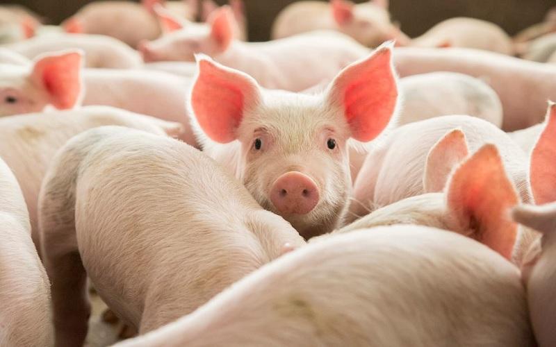 Relação de troca do suíno vivo por milho
