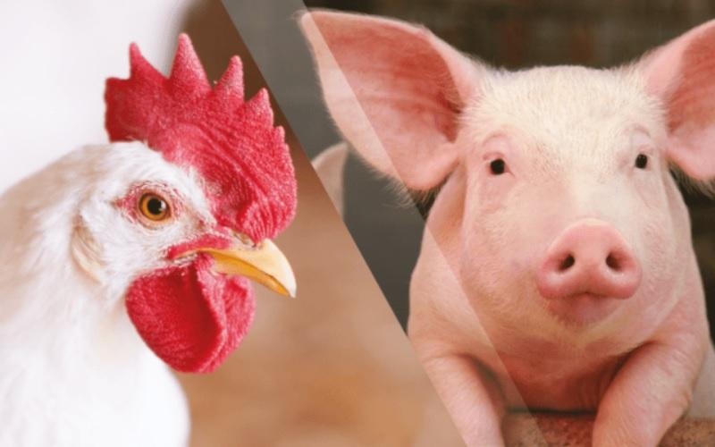 Avicultura, suinocultura e custos de produção