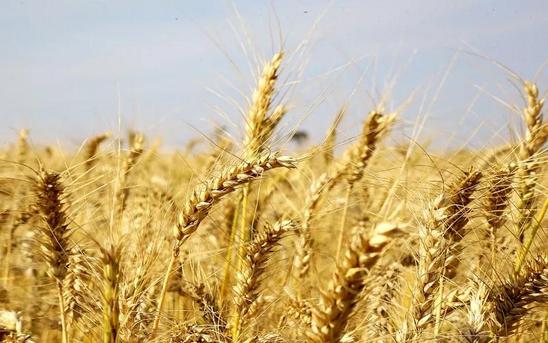 Custos de produção do trigo tem aumento no RS