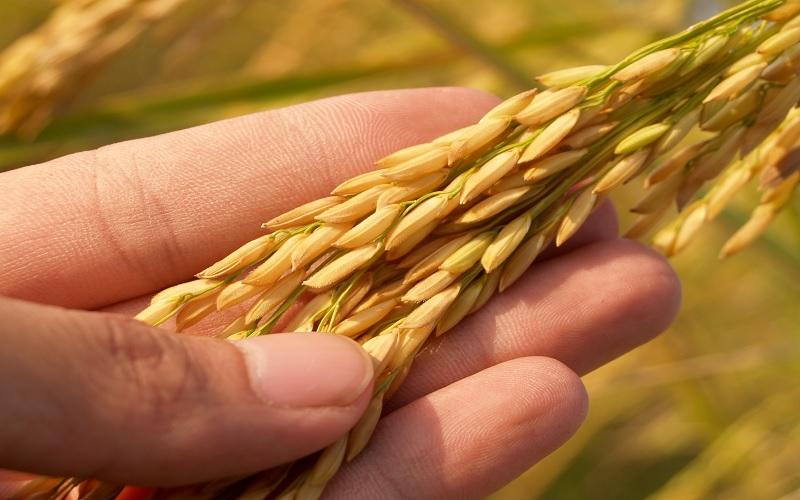 Preço do arroz fica abaixo do custo de produção