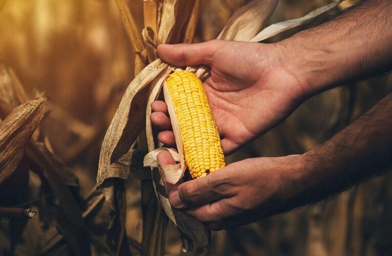 Safra de milho pode manter preços em alta
