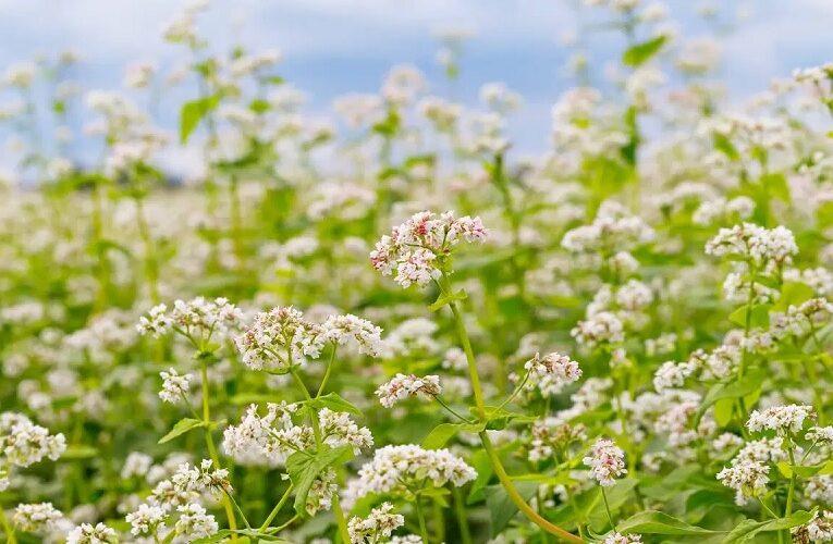 Benefícios do trigo mourisco para o solo